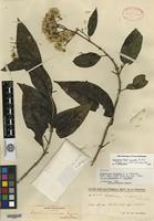Holotype of Eupatorium microdon B. L. Rob. [family ASTERACEAE]
