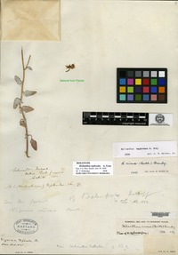 Holotype of Helianthus tephrodes A. Gray [family ASTERACEAE]