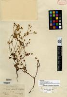 Isotype of Perityle aurea Rose [family ASTERACEAE]