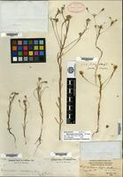 Holotype of Rigiopappus leptocladus A. Gray [family ASTERACEAE]