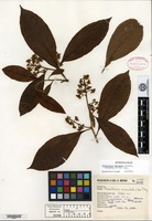 Isotype of Parathesis mexicana Lundell [family MYRSINACEAE]