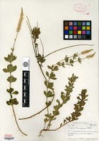 Type of Polygala bermudensis S. F. Blake [family POLYGALACEAE]