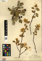 Syntype of Amelanchier cusickii Fernald [family ROSACEAE]