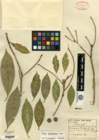 Isotype of Ficus tobagensis Urban [family MORACEAE]