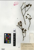 Isotype of Ilex shaferi Britton & P. Wilson [family AQUIFOLIACEAE]