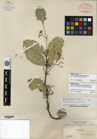 Isotype of Salacia rotundifolia Rusby [family HIPPOCRATEACEAE]