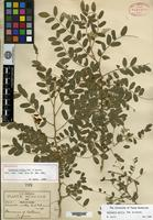 Holotype of Coursetia mollis B. L. Robinson & Greenman [family FABACEAE]