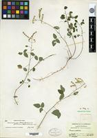 Holotype of Desmodium tenuipes (S. F. Blake) B. G. Schubert var. glabrescens B. G. Schubert [family FABACEAE]