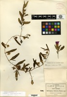 Holotype of Ipomoea madrensis S. Watson [family CONVOLVULACEAE]