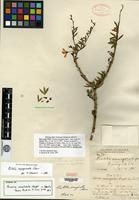 Syntype of Pictetia sessilifolia C. Wright ex Greenman [family FABACEAE]