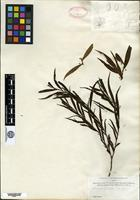 Isotype of Acacia richii A. Gray [family MIMOSACEAE]