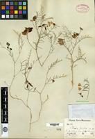 Holotype of Phaca picta A. Gray [family FABACEAE]