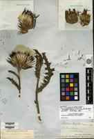 Syntype of Cirsium horridulum Michaux var. elliottii Torrey & A. Gray [family ASTERACEAE]