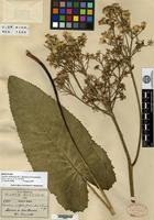 Holotype of Cacalia silphiifolia B. L. Robinson & Greenman [family ASTERACEAE]