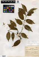 Isotype of Strychnos cooperi Hutchinson & M. B. Moss [family LOGANIACEAE]