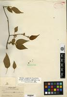 Holotype of Vincetoxicum astephanoides A. Gray [family ASCLEPIADACEAE]