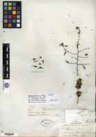 Holotype of Lycium palmeri A. Gray [family SOLANACEAE]