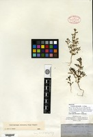 Isotype of Conobea intermedia A. Gray [family SCROPHULARIACEAE]