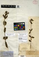 Holotype of Mimulus bolanderi A. Gray [family SCROPHULARIACEAE]