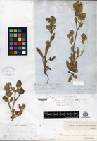 Isotype of Eutoca phacelioides Bentham [family HYDROPHYLLACEAE]