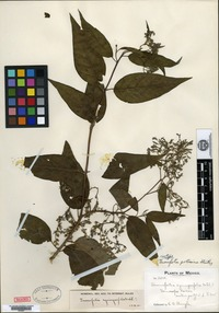 Isotype of Tournefortia potosina Standley [family BORAGINACEAE]