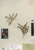 Isotype of Amaranthus sclerantoides (Andersson) Andersson f. hoodensis B. L. Robinson & Greenman [family AMARANTHACEAE]