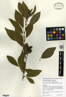 Isotype of Alnus maritima A. Henry subsp. oklahomensis J. A. Schrad. & W. R. Graves [family BETULACEAE]