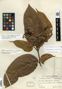 Type of Cordia protracta I. M. Johnston [family BORAGINACEAE]