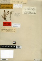 Syntype of Lychnis montana S. Watson [family CARYOPHYLLACEAE]