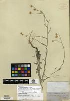 Holotype of Erigeron eriophyllus A. Gray [family ASTERACEAE]