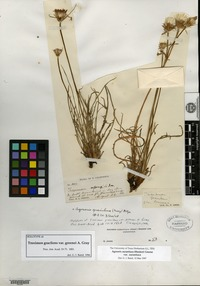 Holotype of Troximon gracilens A. Gray var. greenei A. Gray [family ASTERACEAE]
