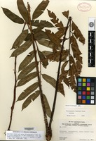 Isotype of Trichipteris maguirei R. M. Tryon [family CYATHEACEAE]
