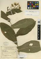 Isotype of Acourtia gentryi L. Cabrera [family ASTERACEAE]