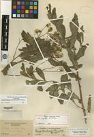 Holotype of Perezia dissiticeps Bacig. [family ASTERACEAE]