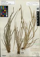 Holotype of Carex crebriflora Wiegand [family CYPERACEAE]