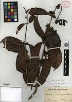Isotype of Salacia wenzelii Merrill [family HIPPOCRATEACEAE]