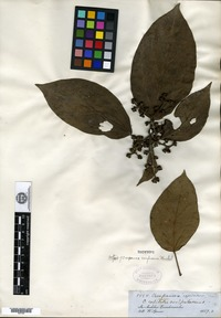 Isotype of Oreopanax confusum Marchal [family ARALIACEAE]
