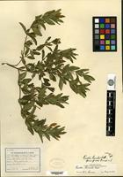 Holotype of Ruellia humilis Nuttall f. grisea Fernald [family ACANTHACEAE]