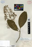 Isotype of Psychotria luxurians Rusby [family RUBIACEAE]
