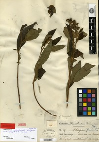Holotype of Heliotropium mandonii I. M. Johnston [family BORAGINACEAE]