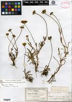 Lectotype of Baeria macrantha A. Gray var. pauciaristata A. Gray [family ASTERACEAE]
