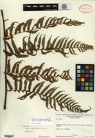 Isotype of Cyathea simplex R. M. Tryon [family CYATHEACEAE]