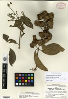 Isotype of Callaeum reticulatum D. M. Johnson [family MALPIGHIACEAE]