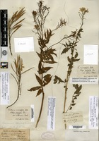 Isolectotype of Cardamine macrophylla Willdenow var. sikkimensis Hooker f. & T. Anderson [family BRASSICACEAE]