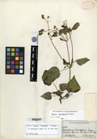 Isotype of Alomia stenolepis S. F. Blake [family ASTERACEAE]