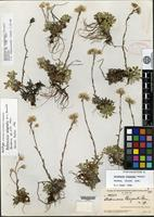 Holotype of Antennaria wiegandii Fernald [family ASTERACEAE]