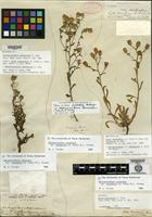 Holotype of Aster shastensis (A. Gray) A. Gray var. eradiatus A. Gray [family ASTERACEAE]