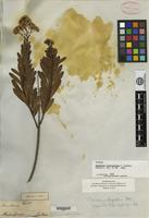 Isotype of Baccharis bupleuroides Gardner [family ASTERACEAE]