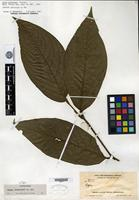 Isotype of Piper gleasonii Yuncker [family PIPERACEAE SP.]
