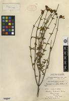 Holotype of Coreopsis parvifolia S. F. Blake [family ASTERACEAE]